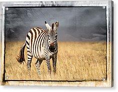 Scratched Tin Zebra Acrylic Print by Mike Gaudaur