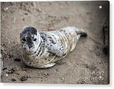 Seal Baby Acrylic Print by David Millenheft