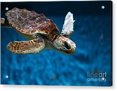 Sea Turtle 5d25079 Acrylic Print by Wingsdomain Art and Photography