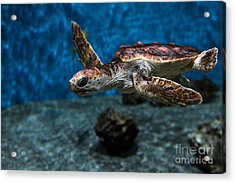 Sea Turtle 5d25083 Acrylic Print by Wingsdomain Art and Photography