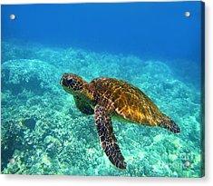Sea Turtle Close Up Acrylic Print by Bette Phelan