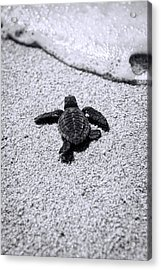 Sea Turtle Acrylic Print by Sebastian Musial