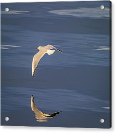 Seagull Flying Low Over Reykjavik Acrylic Print by Panoramic Images