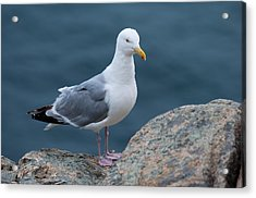 Seagull Acrylic Print by Sebastian Musial