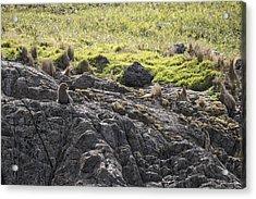Seal - Montague Island - Austrlalia Acrylic Print by Steven Ralser