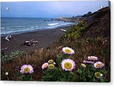 Seaside Daisies On Moonstone Beach Acrylic Print by Kathy Yates