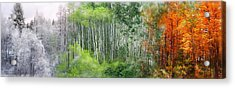 Seasons Of The Aspen Acrylic Print by Carol Cavalaris
