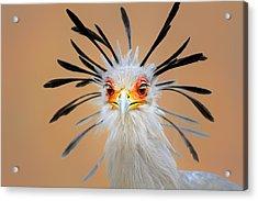 Secretary Bird Portrait Close-up Head Shot Acrylic Print by Johan Swanepoel
