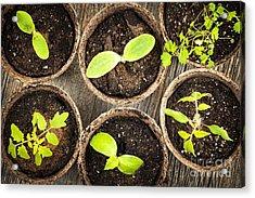 Seedlings Growing In Peat Moss Pots Acrylic Print by Elena Elisseeva