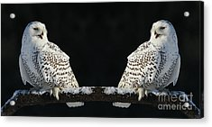 Seeing Double- Snowy Owl At Twilight Acrylic Print by Inspired Nature Photography Fine Art Photography