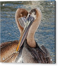 Eye 2 Eye - Heart 2 Heart - Brown Pelican Acrylic Print by HH Photography of Florida