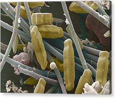 Sem Of Diatoms And Blue-green Algae Acrylic Print by Power And Syred