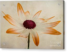 Aster Acrylic Print featuring the photograph Senetti Pericallis Orange Tip by John Edwards