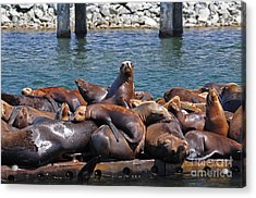 Sentry Sea Lion And Friends Acrylic Print by Susan Wiedmann