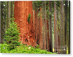 Sequoias Acrylic Print by Inge Johnsson