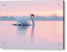Serenity   Mute Swan At Sunset Acrylic Print by Roeselien Raimond