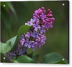 Shades Of Lilac  Acrylic Print by Rona Black