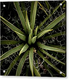 Sharp Points - Yucca Plant Acrylic Print by Steven Milner