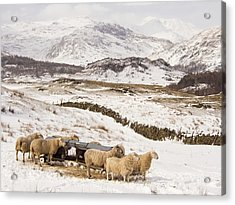 Sheep Brave The Extreme Weather Acrylic Print by Ashley Cooper