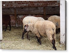 Sheep - Mt Vernon - 01131 Acrylic Print by DC Photographer