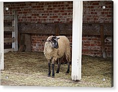 Sheep - Mt Vernon - 01132 Acrylic Print by DC Photographer