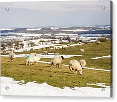 Sheep On Hope Bowdler Hill Acrylic Print by Ashley Cooper