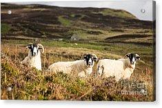 Sheep Trio Acrylic Print by Jane Rix