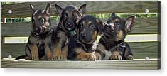 Shepherd Pups 2 Acrylic Print by Aimee L Maher Photography and Art Visit ALMGallerydotcom
