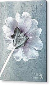 Sheradised Primula Acrylic Print by John Edwards