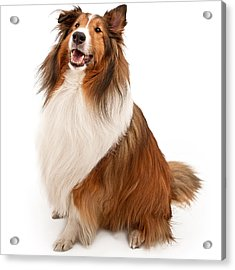 Shetland Sheepdog Isolated On White Acrylic Print by Susan Schmitz