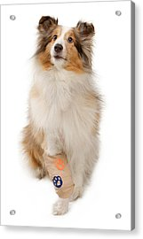 Shetland Sheepdog With Injured Leg Acrylic Print by Susan Schmitz