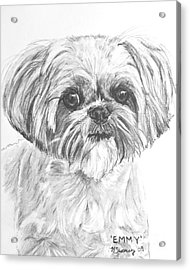 Shih Tzu Portrait In Charcoal Acrylic Print by Kate Sumners