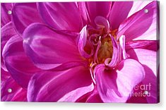 Shimmering Pink Dahlia Flower Acrylic Print by Susan Garren