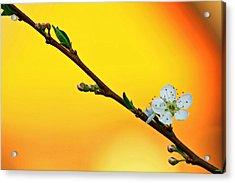 Shining Sakura Acrylic Print by Suradej Chuephanich