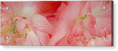 Shirley Poppies Acrylic Print by Theresa Tahara
