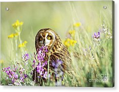 Short-eared Owl Acrylic Print by Thomas and Pat Leeson
