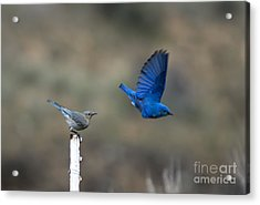 Showing Off Acrylic Print by Mike  Dawson