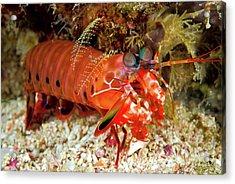 Shrimp On Ocean Floor, Raja Ampat Acrylic Print by Jaynes Gallery