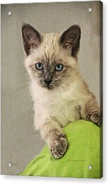 Siamese Kitten Acrylic Print by Kenny Francis