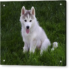 Siberian Huskie Pup Acrylic Print by Bill Cannon