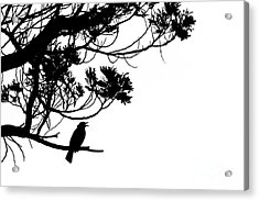 Silhouette Of Singing Common Blackbird In A Tree Acrylic Print by Stephan Pietzko