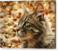 Silver Grey Tabby Cat Acrylic Print by Michelle Wrighton