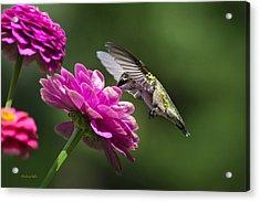 Simple Pleasure Hummingbird Delight Acrylic Print by Christina Rollo