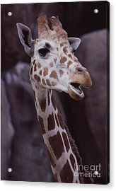 Singing Giraffe Acrylic Print by Anna Lisa Yoder