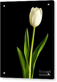 Single White Tulip Over Black Acrylic Print by Edward Fielding
