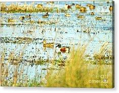 Sitting Ducks Acrylic Print by Scott Pellegrin