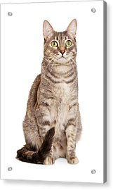 Sitting Gray Tabby Cat Acrylic Print by Susan Schmitz