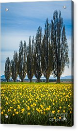 Skagit Trees Acrylic Print by Inge Johnsson