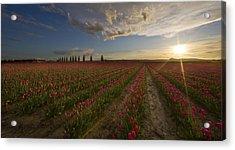 Skagit Tulip Fields Sunset Acrylic Print by Mike Reid