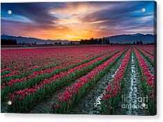 Skagit Valley Predawn Acrylic Print by Inge Johnsson